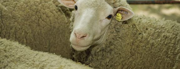 NI Liveweight Sheep Marts